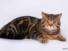 Уникальное изображение Вязка кошек Шотландский прямоухий кот на вязку 68365896 в Москве