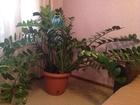 Скачать изображение  Продам шикарный замиокулкас (Долларовое дерево) 68460663 в Тюмени