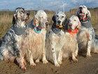 Новое фото Услуги для животных Английский сеттер щенки из элитного питомника 68699757 в Москве