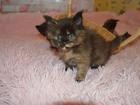 Свежее foto Вязка кошек Вязка, Мейн Кун, Алиментный котёнок, 68703867 в Москве