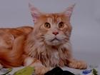 Смотреть изображение Вязка кошек Вязка мейн кун красный мрамор 68755862 в Москве