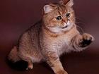Скачать бесплатно фотографию Вязка кошек К золотому британскому тикированному на вязку 68755871 в Москве