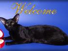 Скачать бесплатно foto Вязка кошек Вязка-Ориентальный чёрный кот 68755980 в Москве