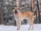 Увидеть фотографию  Крупная собака Арья в добрые руки, 68955663 в Москве