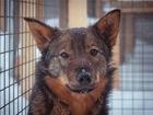 Просмотреть фотографию  В добрые, надёжные руки, отдаю собачку Ташу, 69067931 в Москве