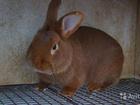 Скачать бесплатно фотографию  продаются кролики новозеландские красные 69399484 в Москве