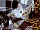Увидеть фотографию  Кото – ребёнок Гатита (Гата), красавица – проказница, в дар 70260425 в Москве