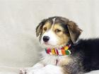 Увидеть изображение  Самые милый щенок Тамир в добрые руки! 70423928 в Москве