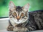 Увидеть изображение  Ищет дом котенок Мося, 4 месяца, 70535593 в Москве