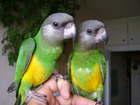 Скачать изображение  Сенегальские попугаи от заводчика 81390020 в Москве