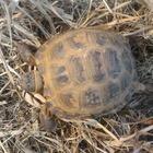 Продам сухопутную черепаху
