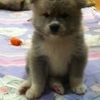 Продаются выставочные щенки Акита-ину