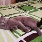 Молодой котик ищет кошечку для вязки