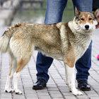 Шикарная, дружелюбная собака Лаки в добрые руки
