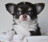Фотография в Собаки и щенки Продажа собак, щенков Эффектная Малышка с изумительно красивы личиком в Москве 45000