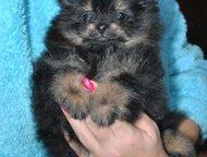 шпиц мини девочка Очаровательная мини-девочка, померанского щпица, 1. 5 мес квад