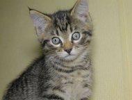 Серые полосатые котята Кошечка и котик- классические серые полосатые котята, воз