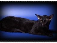 Вязка-Ориентальный кот Предлагаем для вязки –Ориентального клубного кота. Окрас: