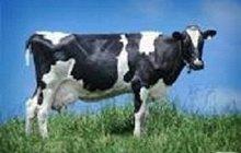 Концентрат для дойной коровы 20% Purina