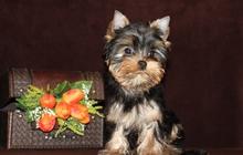 Красивая девочка йоркширского терьера щенок