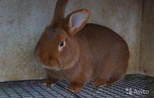 Продаются кролики новозеландские красные