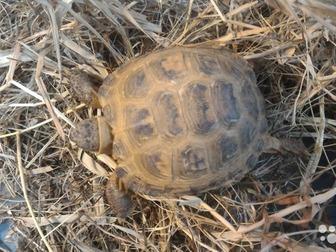 Скачать бесплатно изображение Другие животные Продам сухопутную черепаху 37683337 в Москве
