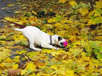 Свежее фотографию  Красивый щенок Бим в добрые руки, 44161109 в Москве
