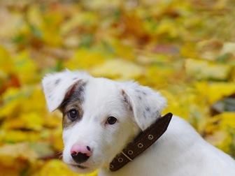 Уникальное изображение  Красивый щенок Бим в добрые руки, 44161109 в Москве