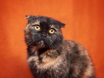 Просмотреть фотографию  Вислоухая кошечка Соня в добрые руки! 44354510 в Москве