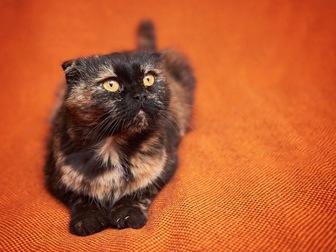 Скачать изображение  Вислоухая кошечка Соня в добрые руки! 44354510 в Москве