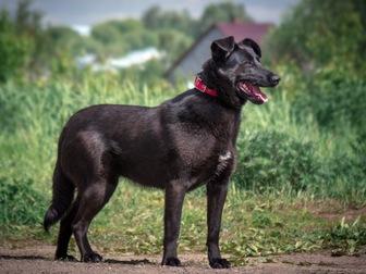 Уникальное фотографию  Красивая чёрная собака Берта в добрые руки, 50054732 в Москве