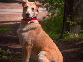 Уникальное фотографию  Изящная, красивая собака в добрые руки! 50087116 в Москве