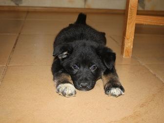 Скачать изображение  Очаровательные щенки Боня и Таксена ищут дом, 58365206 в Москве
