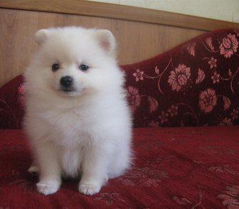 Фото в Собаки и щенки Продажа собак, щенков Кремовый (визуально белый) миниатюрный мальчик, в Москве 35000