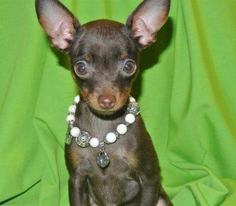 Изображение в Собаки и щенки Продажа собак, щенков Продам щенков, мальчика лилового и черного в Москве 10000