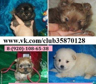 Изображение в Собаки и щенки Продажа собак, щенков Продам недорого чистокровных щеночков шпица! в Москве 0