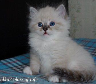 Фотография в Кошки и котята Продажа кошек и котят Предлагаются невские маскарадные котята различных в Москве 35000