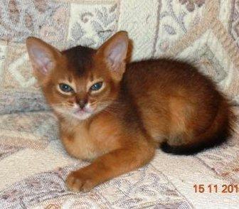 Фото в   АБИССИНСКИЕ котята, рожд. 05. 10. 15г, МАЛЬЧИК в Москве 20000