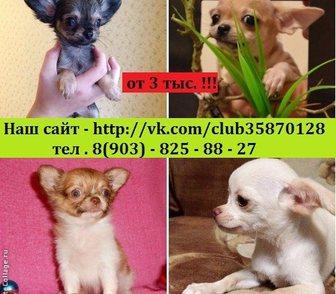 Фото в Собаки и щенки Продажа собак, щенков Красивые малыши чихуахуа недорого от 3000 в Москве 0