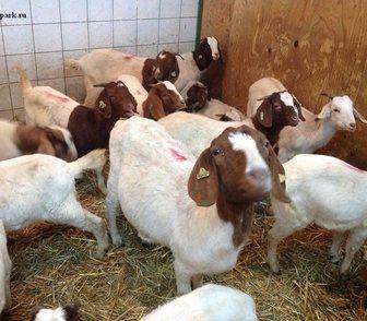 Фотография в   Продам бурских коз.   Буры крупные эффектные в Москве 100000