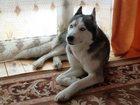 Фотография в Собаки и щенки Вязка собак з-х летняя девочка Сибирской Хаски с голубыми в Можайске 0