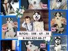 Фотография в Собаки и щенки Продажа собак, щенков Продаю черно-белых голубоглазых щенков сибирской в Мурманске 0