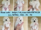 Фотография в Собаки и щенки Продажа собак, щенков Самоедской лайки красивенных белоснежных в Мурманске 0