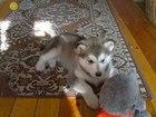Фотки и картинки Аляскинский маламут смотреть в Мурманске