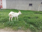 Просмотреть фотографию Другие животные дойная коза 39237491 в Муроме