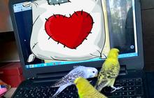 Волнистые Попугаи Чехи (птенцы)