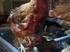 Изображение в Домашние животные Птички Продам курицы-несушки красные породы Хайсекс в Набережных Челнах 190