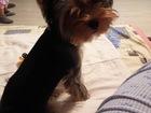 Скачать бесплатно фото  Потерялась собачка (йоркширский терьер) в результате ДТП на трассе М - 7 39674991 в Набережных Челнах
