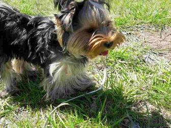 Смотреть foto  Потерялась собачка (йоркширский терьер) в результате ДТП на трассе М - 7 39674991 в Набережных Челнах