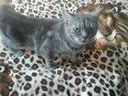 Фотография в Кошки и котята Вязка Порода-Скотиш страйт, есть родословная, привита, в Невинномысске 0